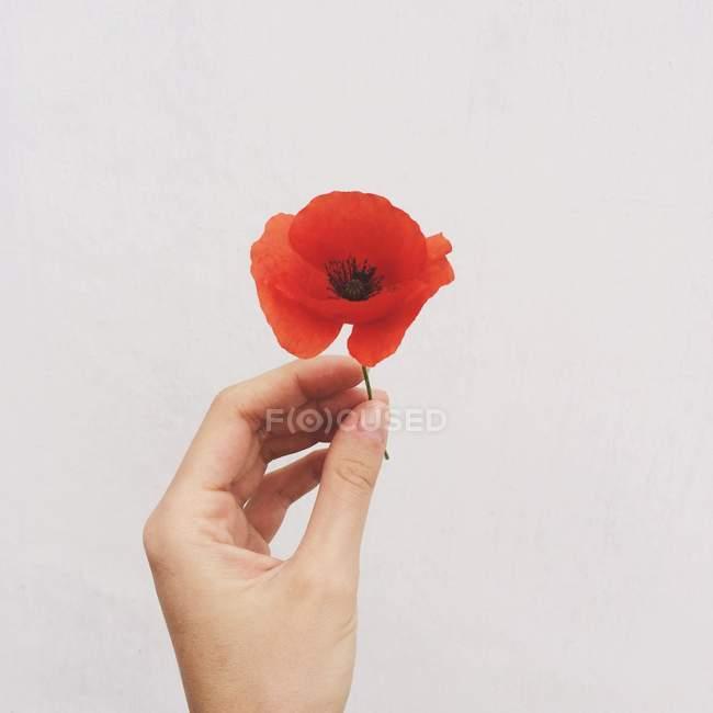 Mano humana sosteniendo hermosa flor de amapola roja sobre fondo gris - foto de stock