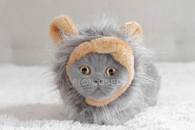 British shorthair blue cat vêtu d'un costume de lion — Photo de stock