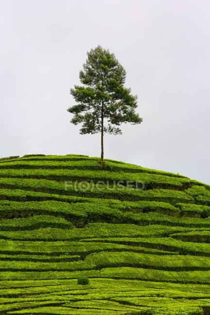 Indonésia, Bandung, Ciwidey, árvore sozinha na plantação de chá — Fotografia de Stock