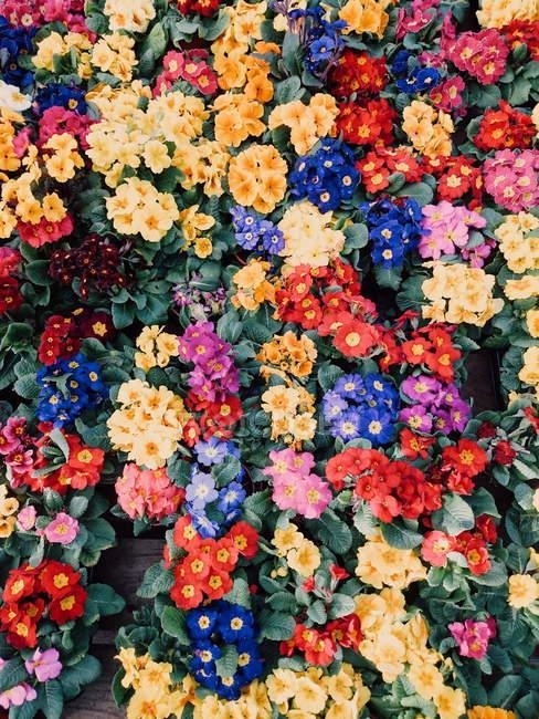 Primer plano de flores de primula multicolor fresco - foto de stock