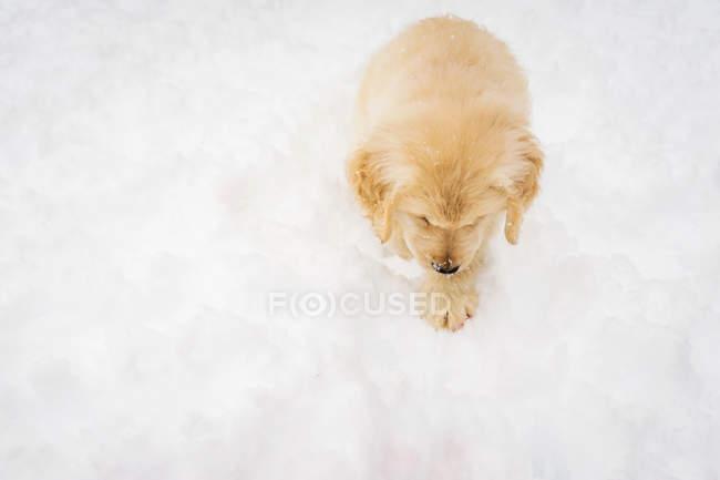 Вид зверху золотистий ретрівер собака цуценя в снігу — стокове фото