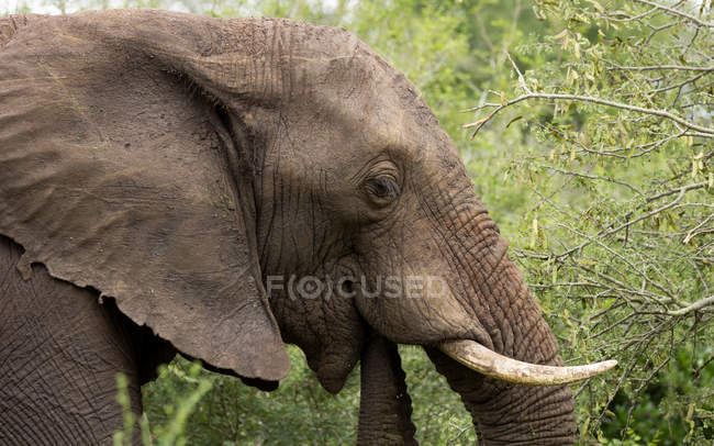 Portrait of beautiful elephant muzzle against green background — Stock Photo