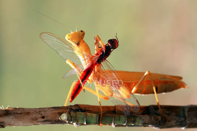 Mantis with insect prey standing on wooden branch — Stock Photo