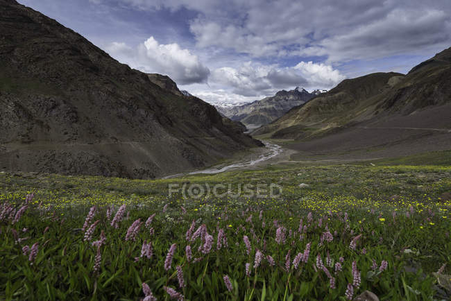 Scenic view of wild flowers in Spiti Valley, Lahul and Spiti, Himachal Pradesh, India — Stock Photo