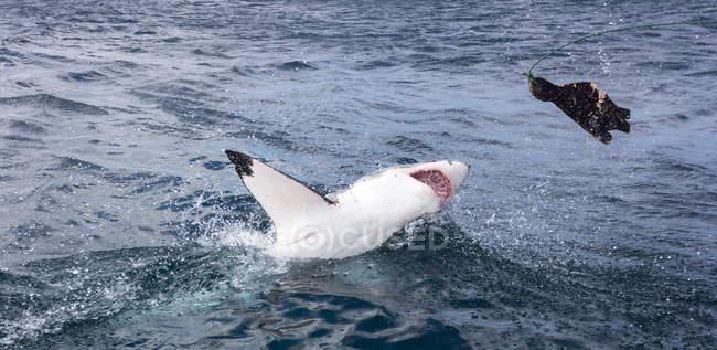 Grande foca manichino caccia squalo bianco — Foto stock