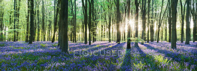 Scenic view of sunrise in forest with bluebells, UK, Hampshire, Micheldever — Stock Photo