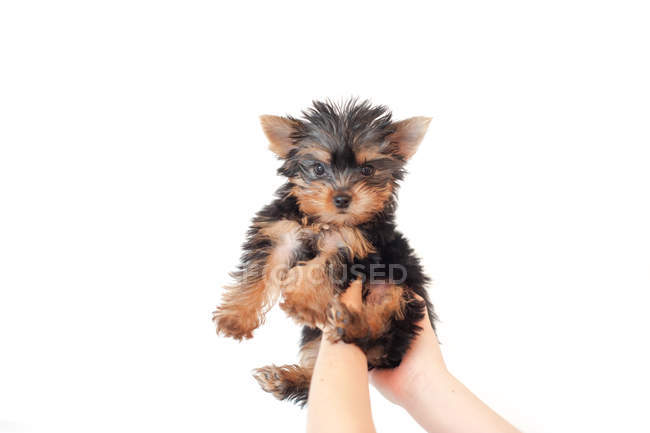 Human hands lifting a puppy yorkie dog in air against white background — Stock Photo
