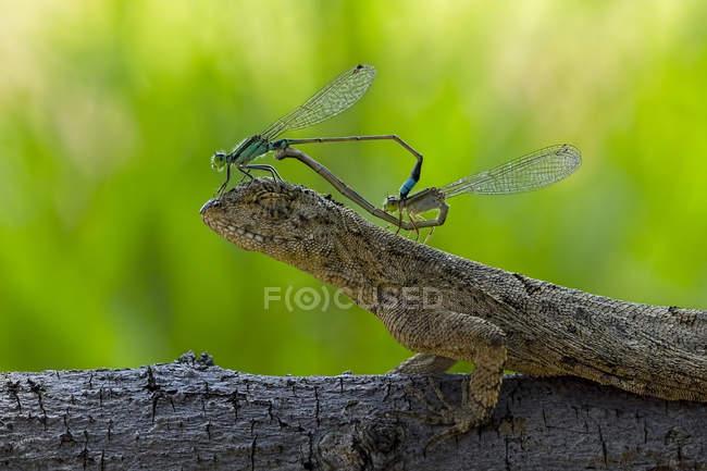 Два спаровування damselflies сидячи на голову ящірка проти розмитість фону — стокове фото