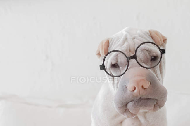 Portrait of white Chinese Shar-Pei dog with glasses — Stock Photo