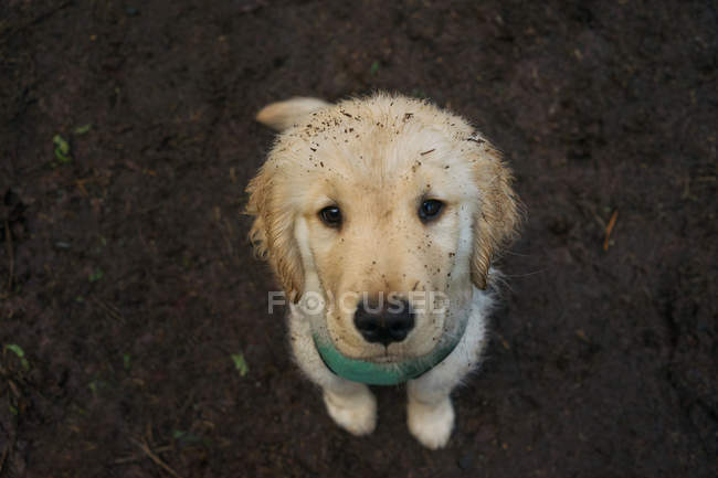 Chien chiot Golden retriever avec un visage sale — Photo de stock