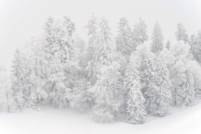 Мальовничий вид на снігу покриті дерев зимовий — стокове фото