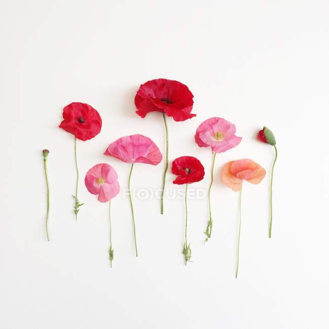 Colorful Poppies lined up in a row on white background — Stock Photo