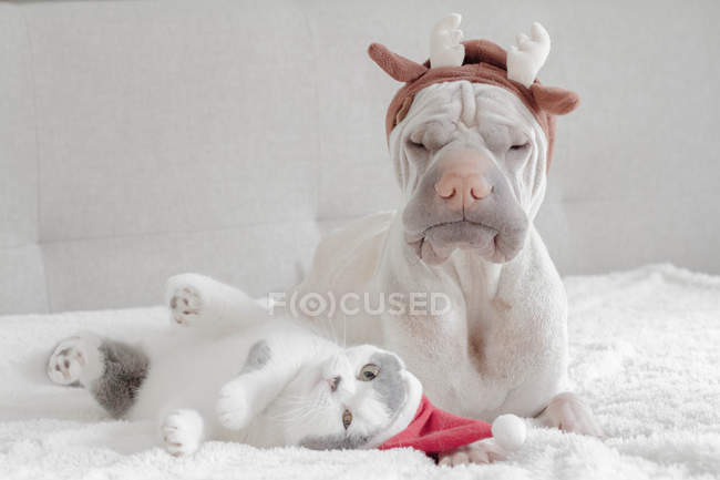 White Chinese Shar-Pei dog and cat in Christmas costumes — Stock Photo