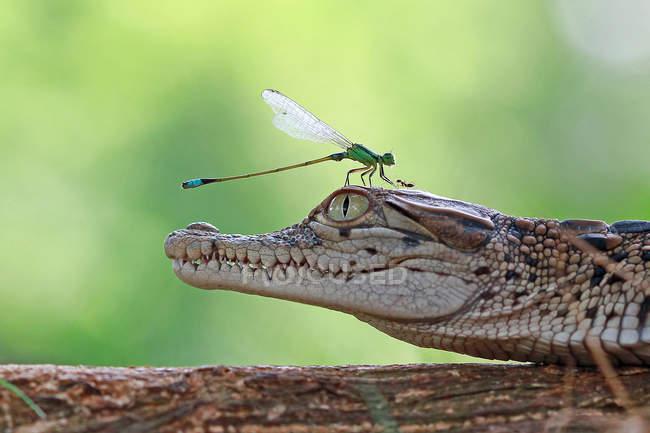 Damselfly y hormiga en una cabeza de cocodrilo en la superficie de madera, concepto de imagen divertida - foto de stock