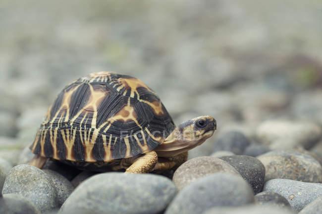 Черепаха с красивой панцирь на серых камней — стоковое фото