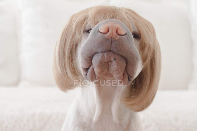 White Chinese Shar-Pei dog with a wig — Stock Photo