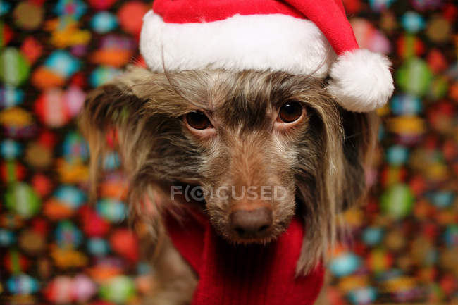 Chinese Crested dog dressed in Christmas hat and scarf — Stock Photo