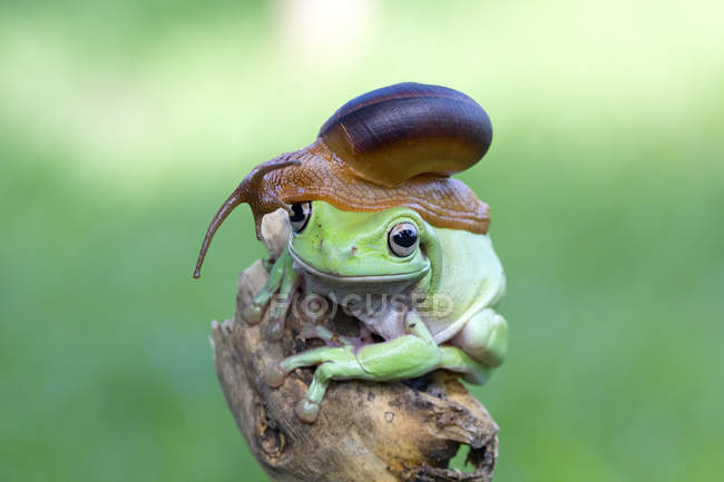 Snail sitting on top of a frog head against blurred green background — Stock Photo