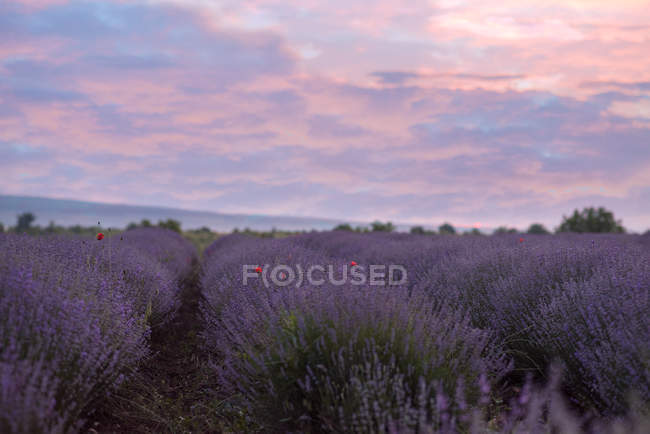 Scenic view of lavender flowers field at sunset — Stock Photo