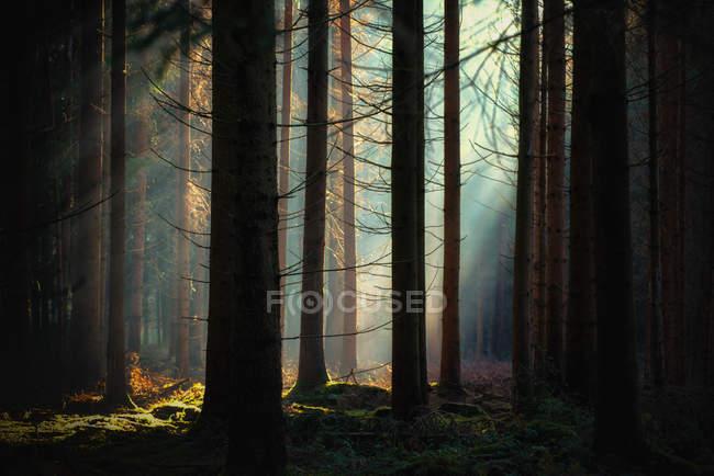Luce del sole attraverso gli alberi nella foresta di Argovia, Svizzera — Foto stock