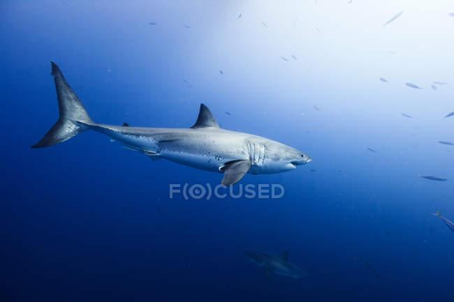 Grand requin blanc nage en mer — Photo de stock