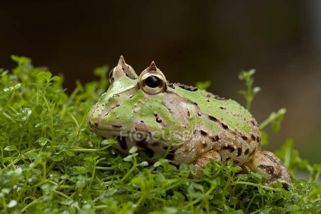 Close-up of Cute green horned frog, Indonesia — Stock Photo