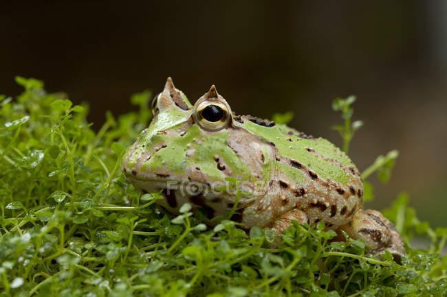 Nahaufnahme von niedlichen grünen gehörnten Frosch, Indonesien — Stockfoto