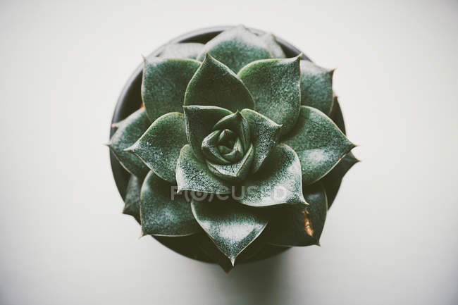 Overhead view of Single succulent cactus in plant pot on grey background — Stock Photo