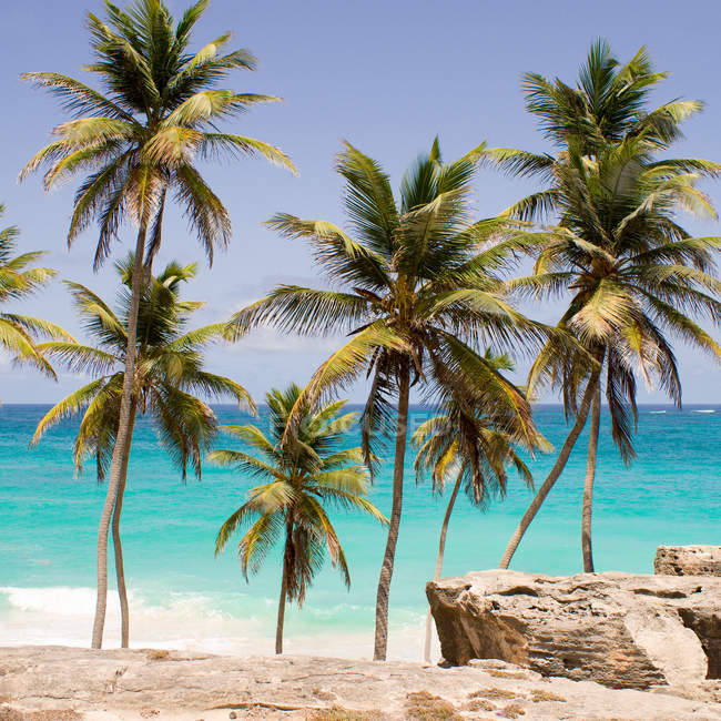 Vista panoramica di palme sulla spiaggia, Barbados — Foto stock