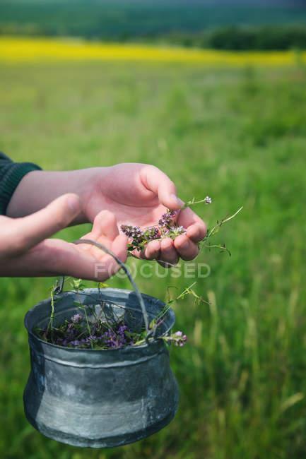 Крупным планом женские руки уборочной свежие цветы Лаванда — стоковое фото