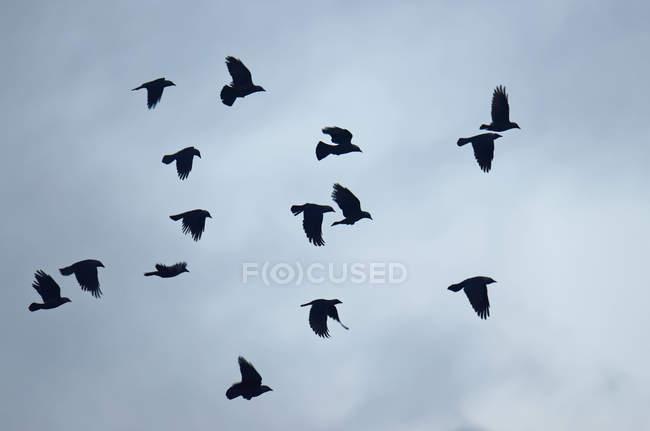 Stormo di uccelli Taccola che volano nel cielo, Oldersum, Bassa Sassonia, Germania — Foto stock