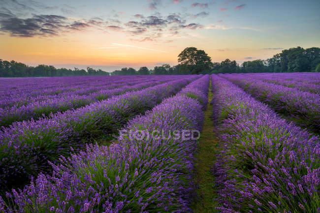 Vista panoramica del campo di lavanda all'alba, Regno Unito, Inghilterra, Surrey — Foto stock