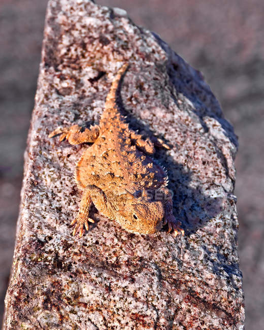 Elevated view of Horned Lizard Basking in sun — Stockfoto