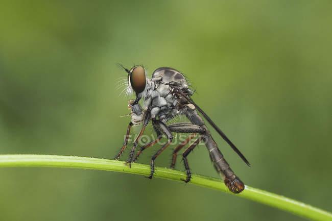 Robberfly, сидя на заводе против размытый фон — стоковое фото