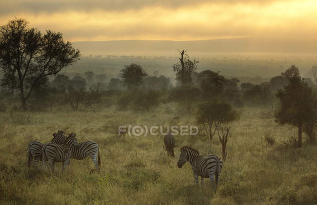 Scenic view of Misty morning with Zebras and wildebeest, Kruger National Park, South Africa — Stock Photo