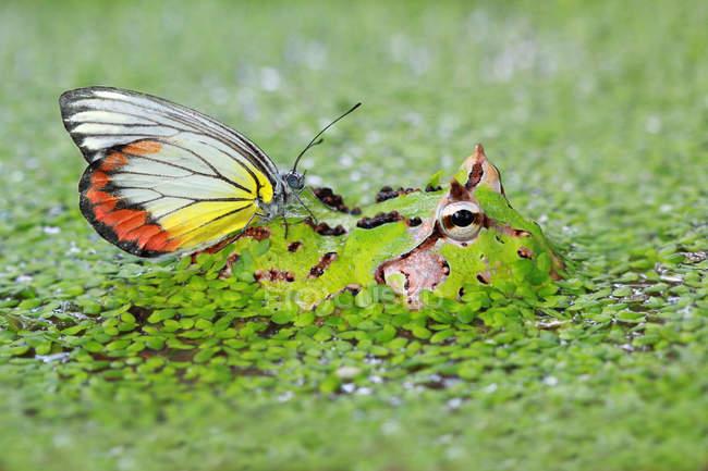 Farfalla che si siede sulla rana di pacman in palude — Foto stock