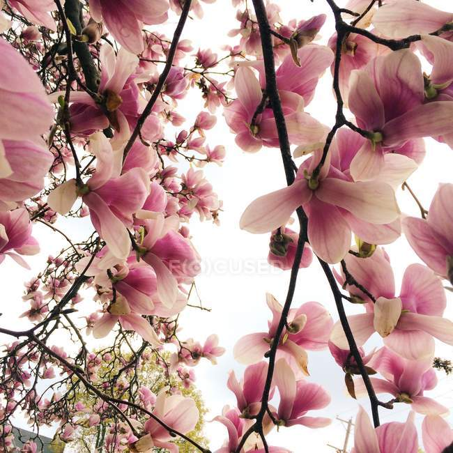 Close up of a beautiful pink magnolia against white background — Stock Photo