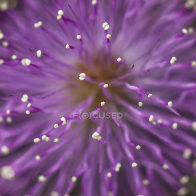 Close-up do estame de uma flor roxa fresca — Fotografia de Stock