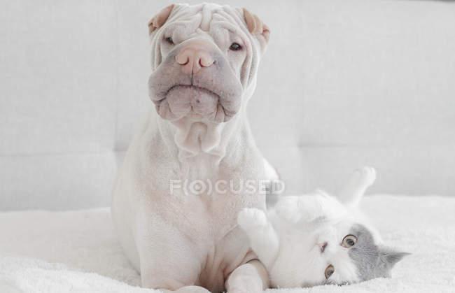Branco cachorro Shar-Pei chinês com gato — Fotografia de Stock