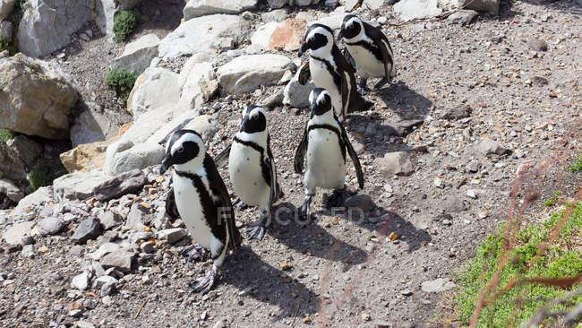 Fünf Pinguine gehen in einer Reihe, Bettys Bay, Western Cape, Südafrika — Stockfoto