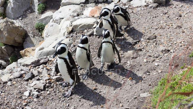 Cinco pingüinos caminando en fila, Bettys Bay, Western Cape, Sudáfrica - foto de stock