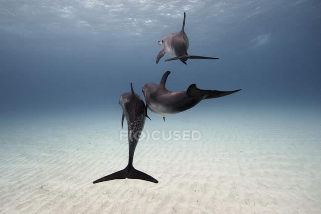 Tre delfini che nuotano sopra il pavimento di oceano — Foto stock