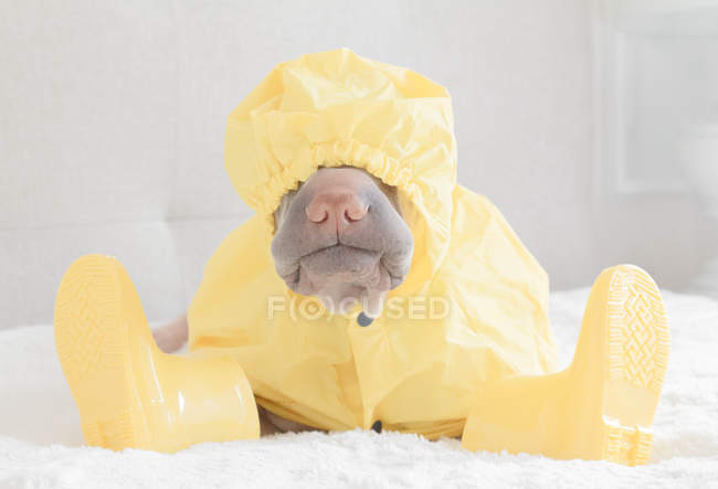 White Chinese Shar-Pei dog in yellow raincoat and boots — Stock Photo