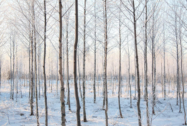 Scenic view of forest in winter snow — Stock Photo