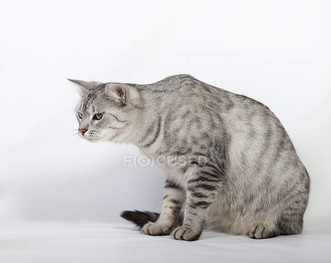 Portrait of grey cute fluffy cat — Stock Photo
