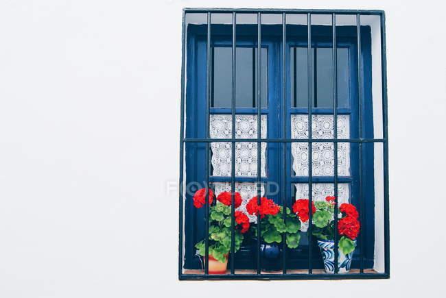 Janela azul com flores vermelhas em vasos em um fundo de parede branca — Fotografia de Stock