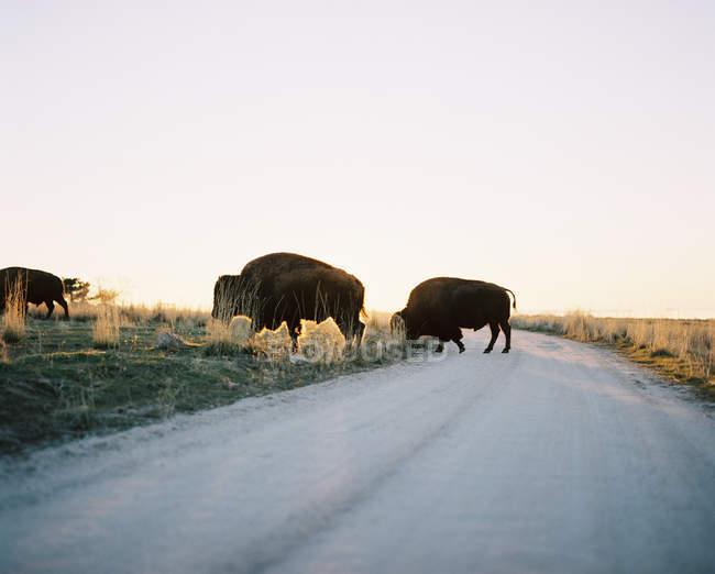 Búfalos crossing road, Isla Antelope, Utah, Estados Unidos, Estados Unidos - foto de stock