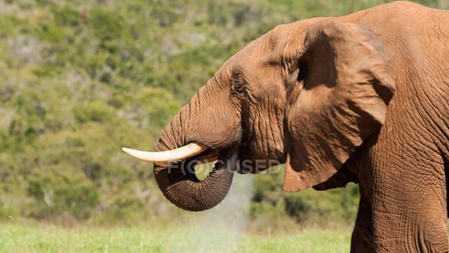 Porträt eines schönen Elefanten in wilder Natur — Stockfoto