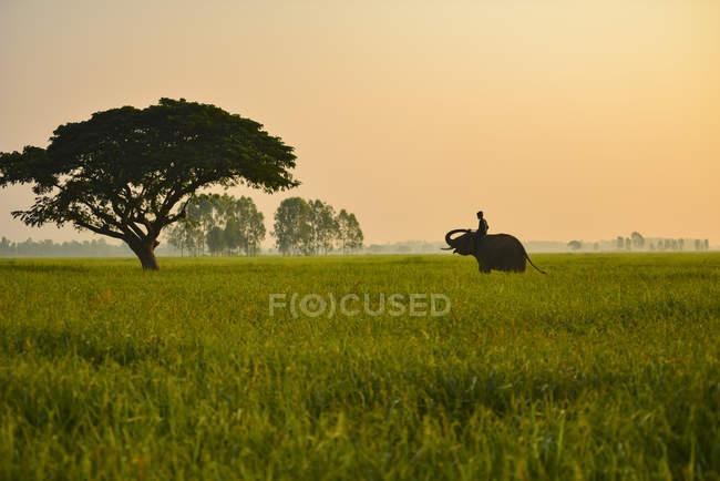 Hombre de MAHOUT montando elefante al amanecer en la provincia de Surin, Tailandia - foto de stock