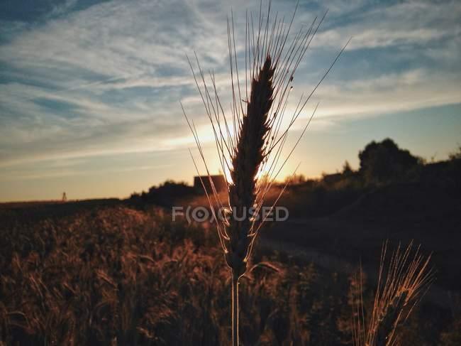 Silueta del tallo del trigo contra la puesta de sol - foto de stock
